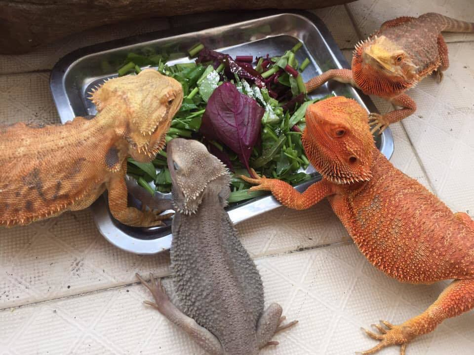 Bearded Dragon Vegetables
