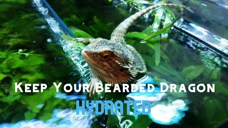Keep Bearded Dragon Hydrated