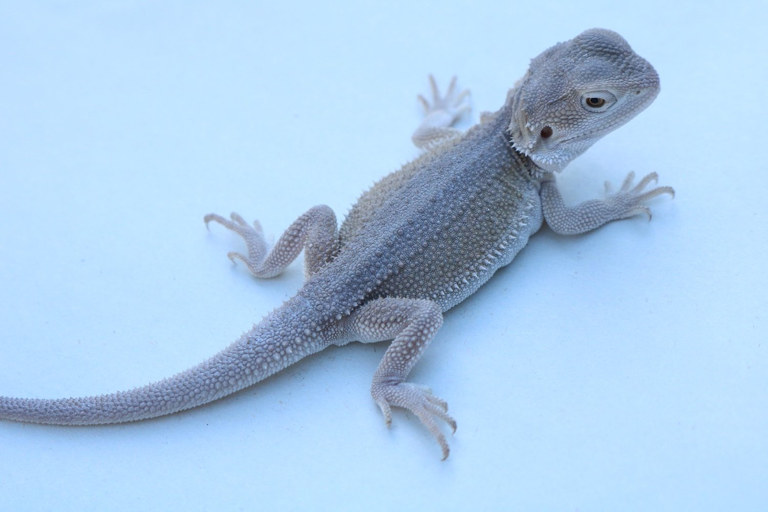 Dunner Witblits Bearded Dragon