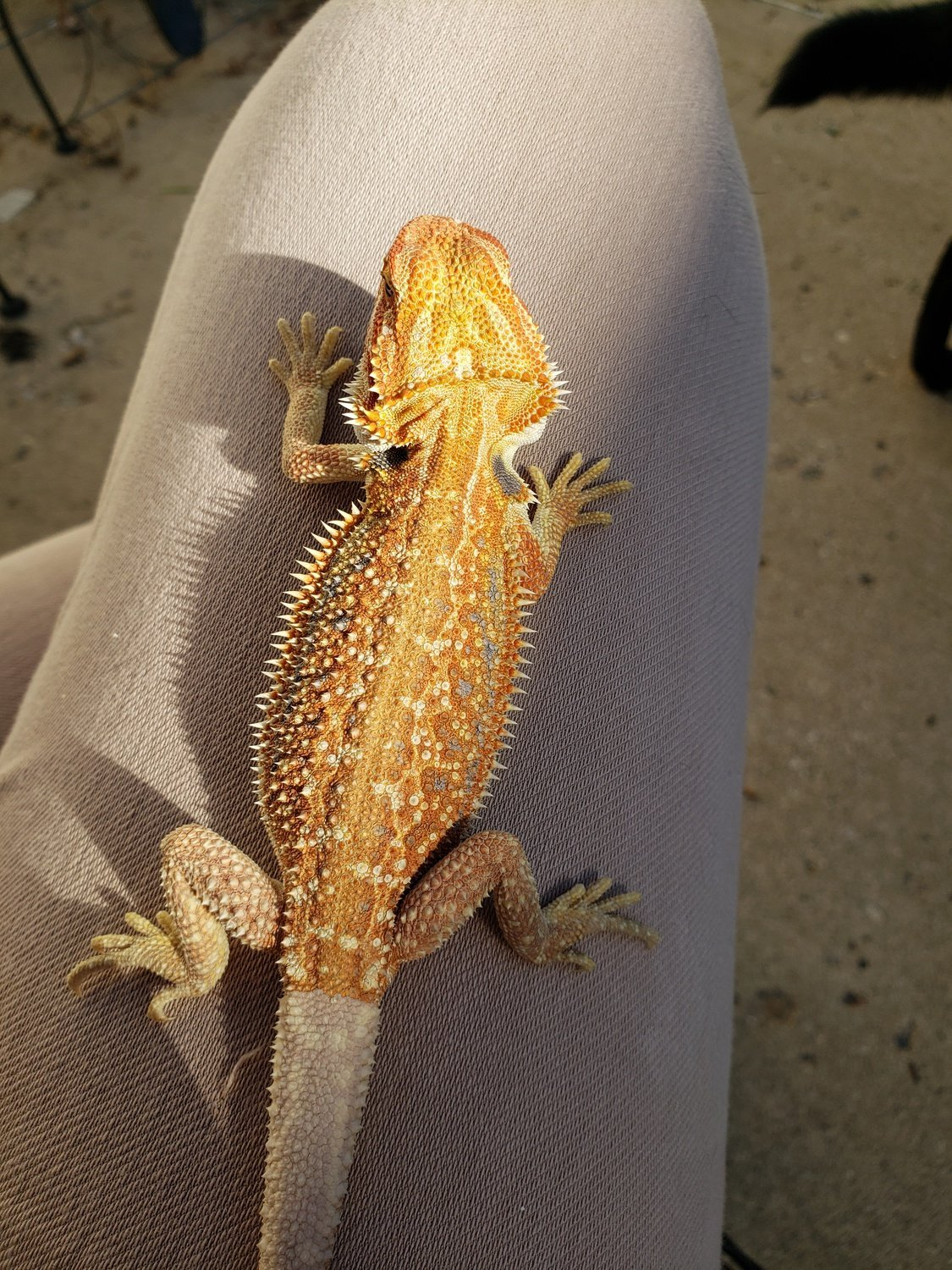 hypo dunner bearded dragon