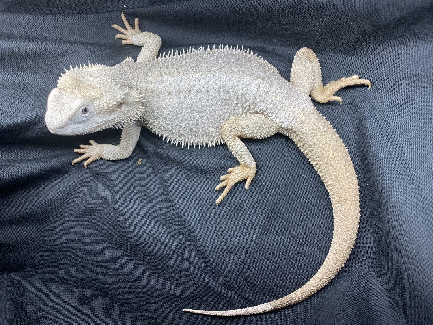 Hypo Zero Bearded Dragon