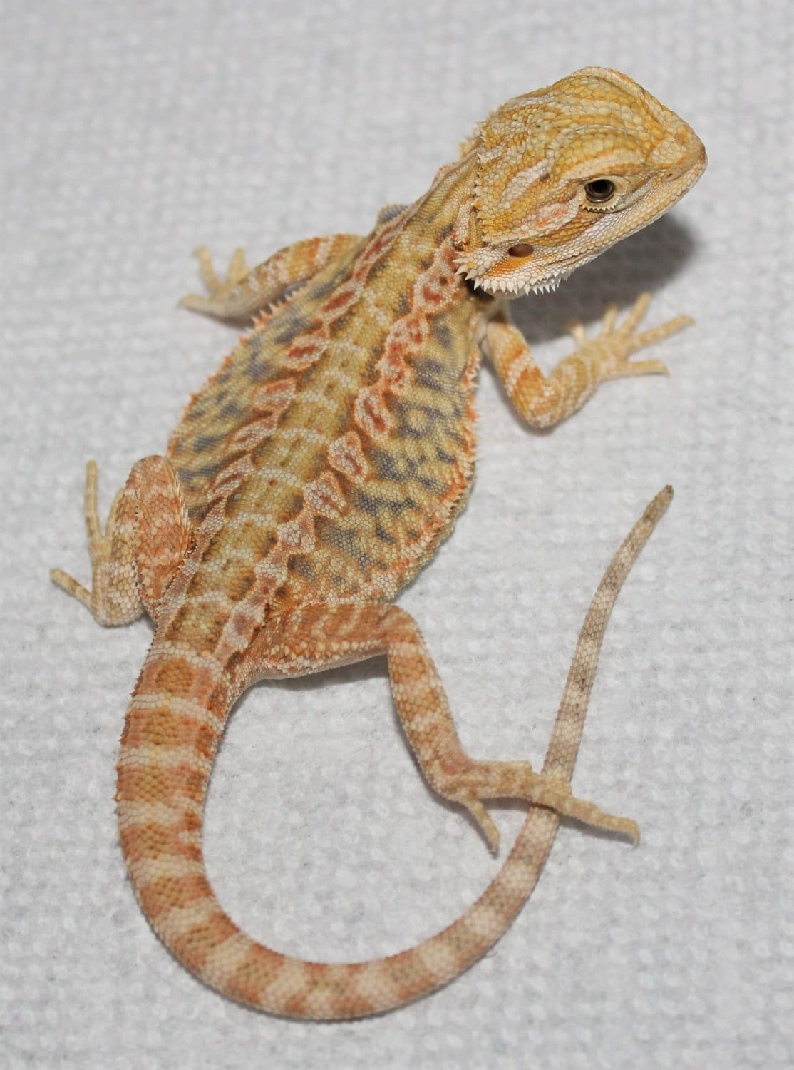 Hypo bearded dragon