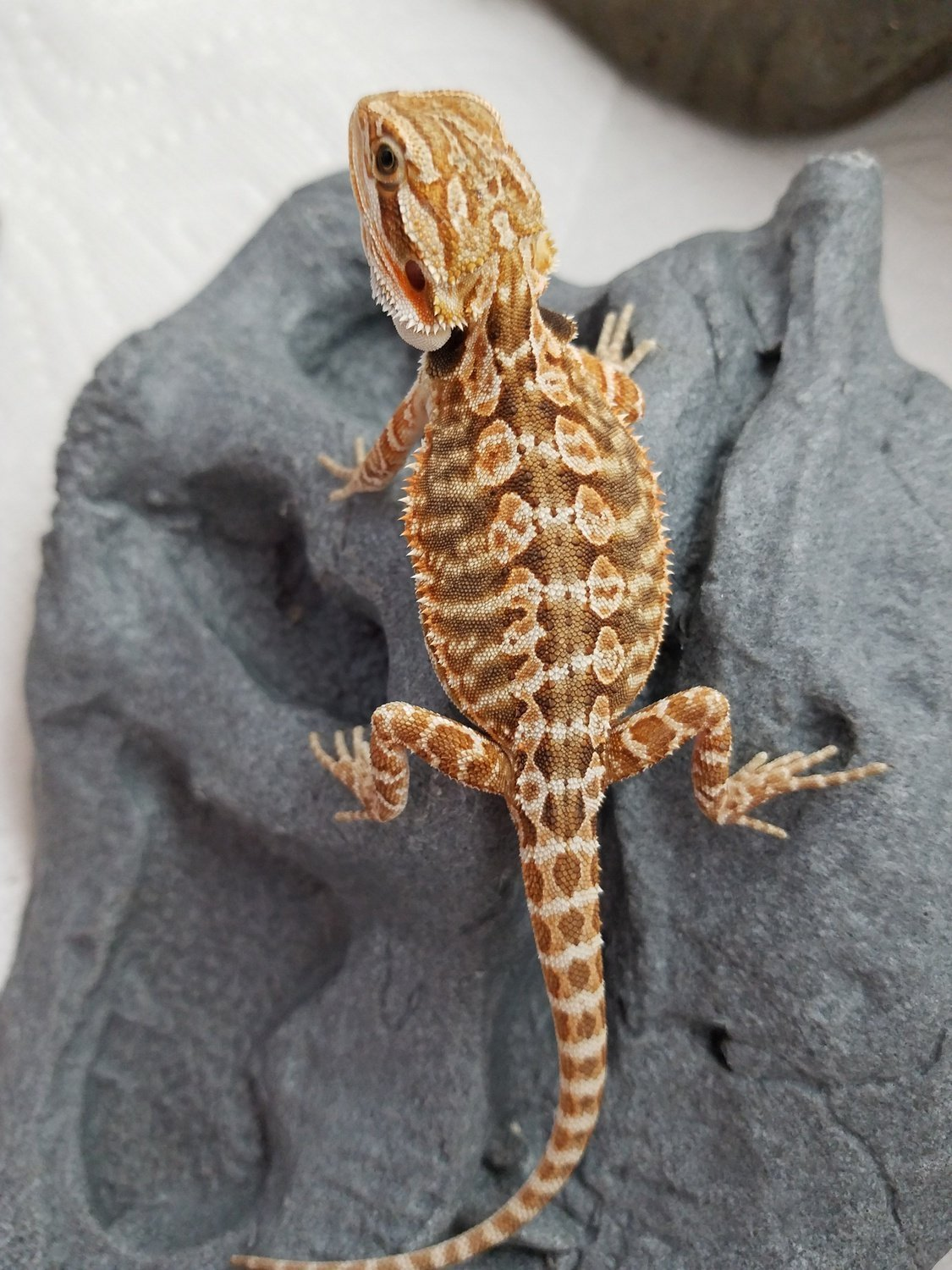 Leatherback normal bearded dragon