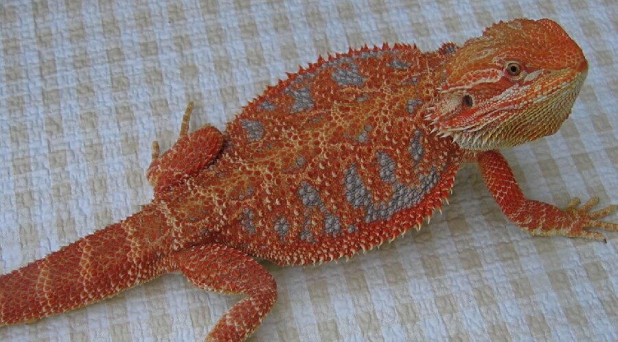 Blood Red Dunner Bearded Dragon