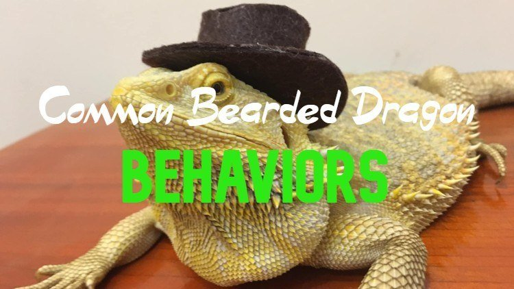 Common bearded dragon behaviors