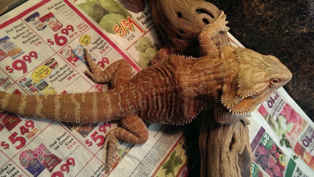Bearded Dragon Broken Bone