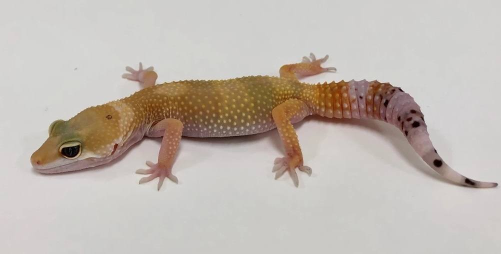 Leopard Gecko Baldy