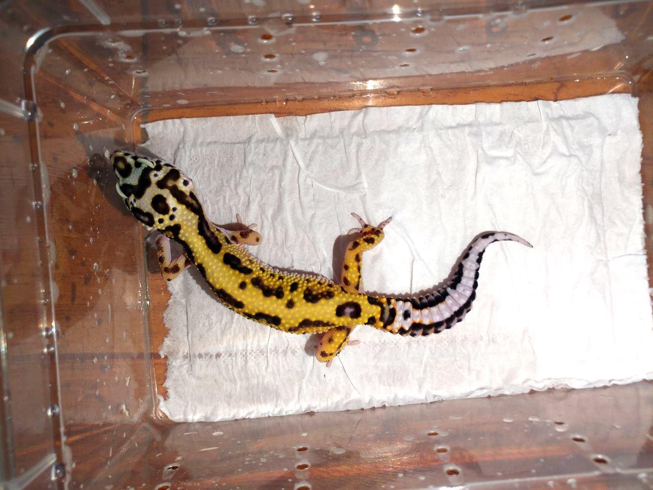 Leopard Gecko Halloween Mask