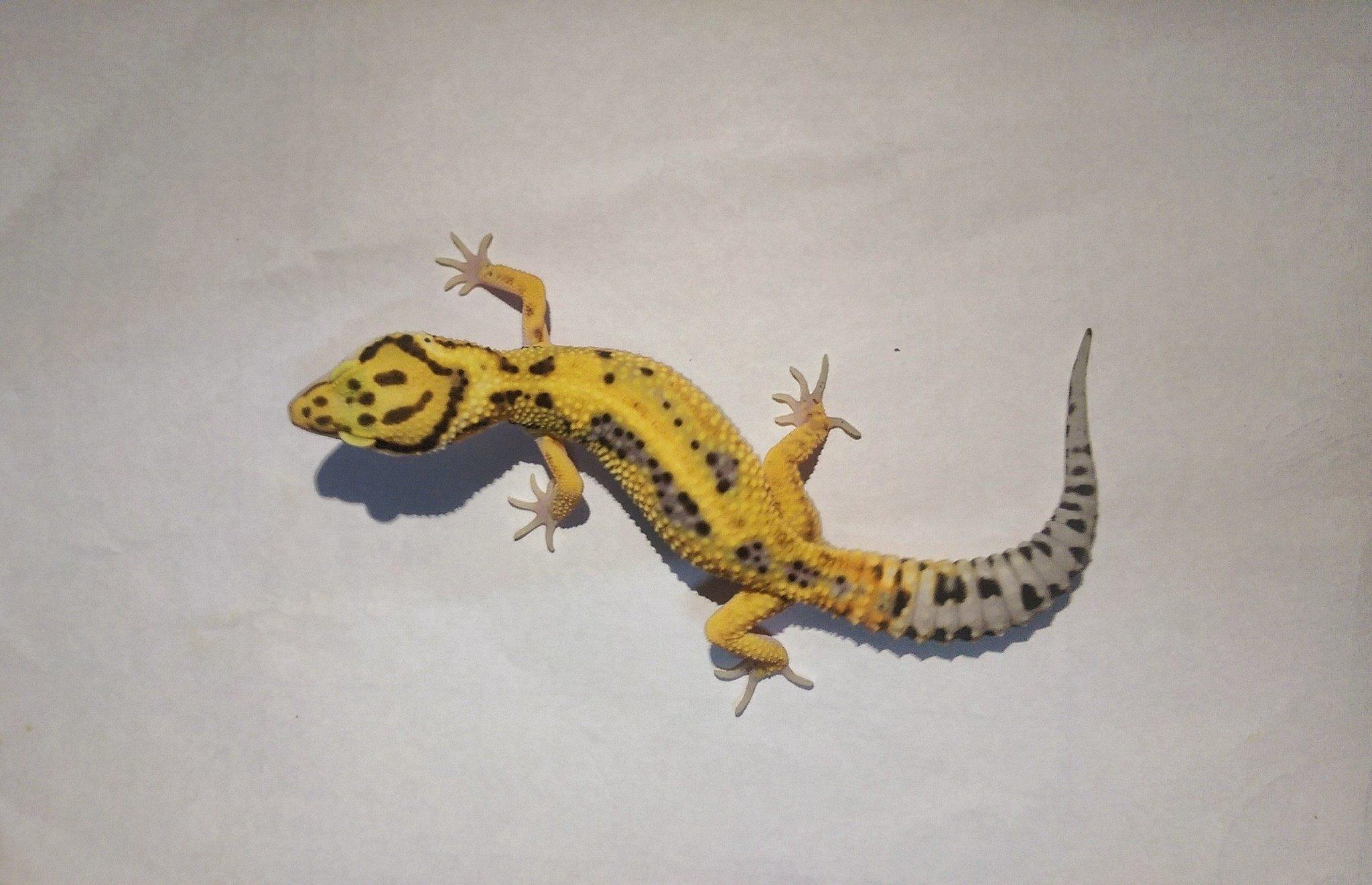 Leopard Gecko High Yellow