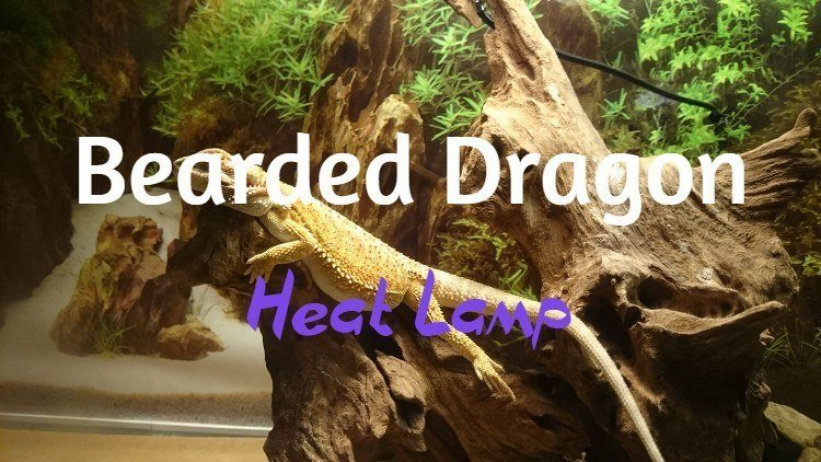 Best bearded dragon heat lamp