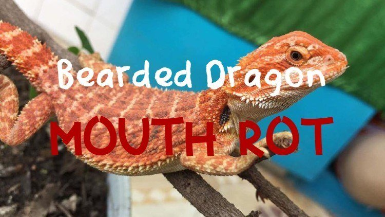 Bearded dragon mouth rot feature image