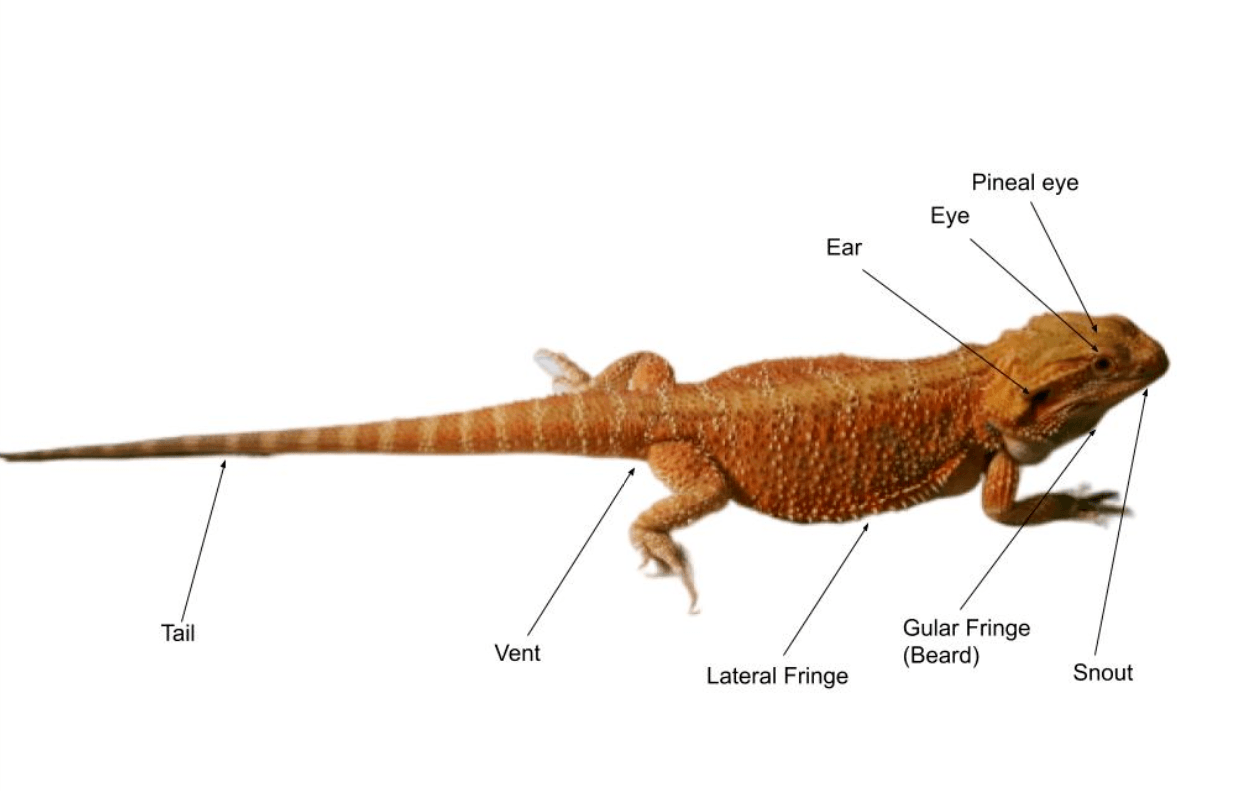 Bearded Dragon Anatomy