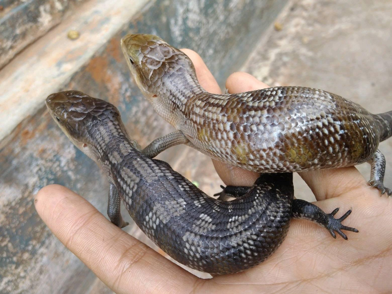 Tanimbar blue tongue skink