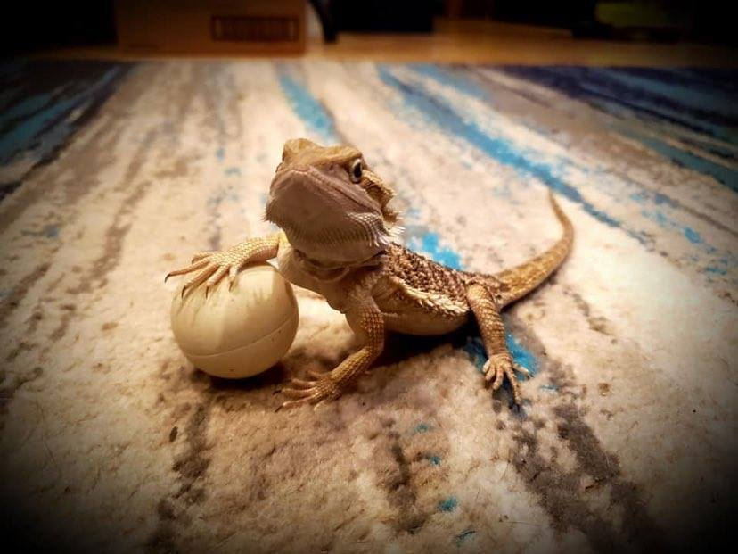 bearded dragon with a ball