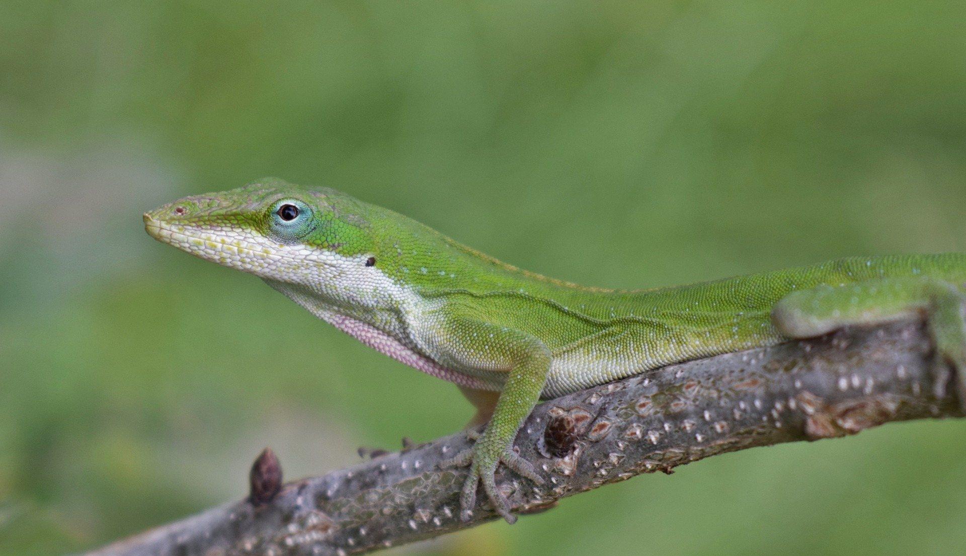 green anole lizard habitat