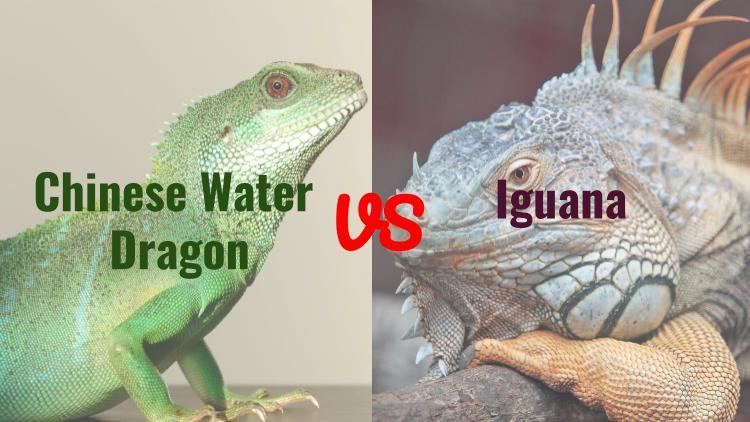 chinese water dragon vs iguana