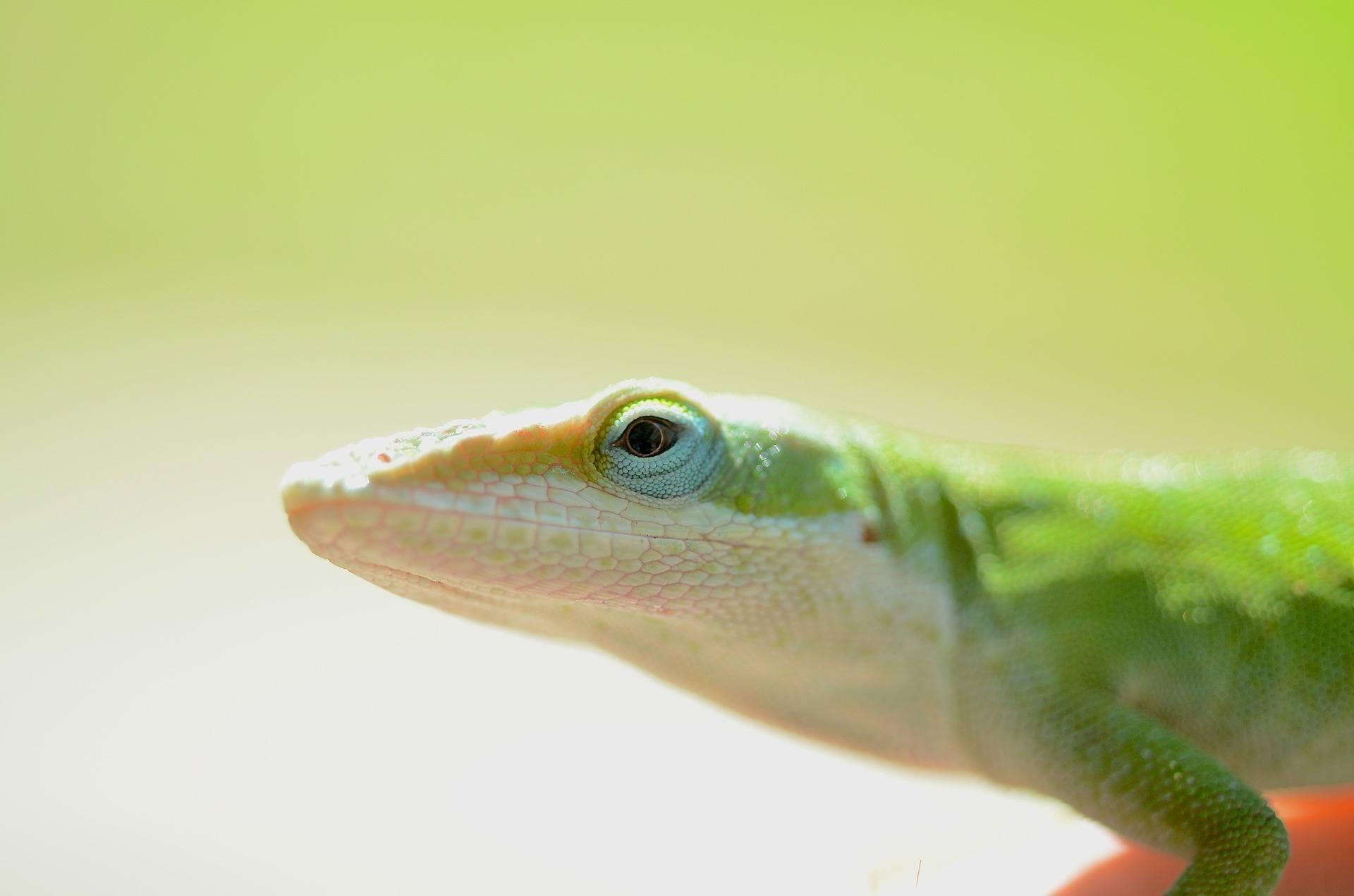 green anole lizard facts
