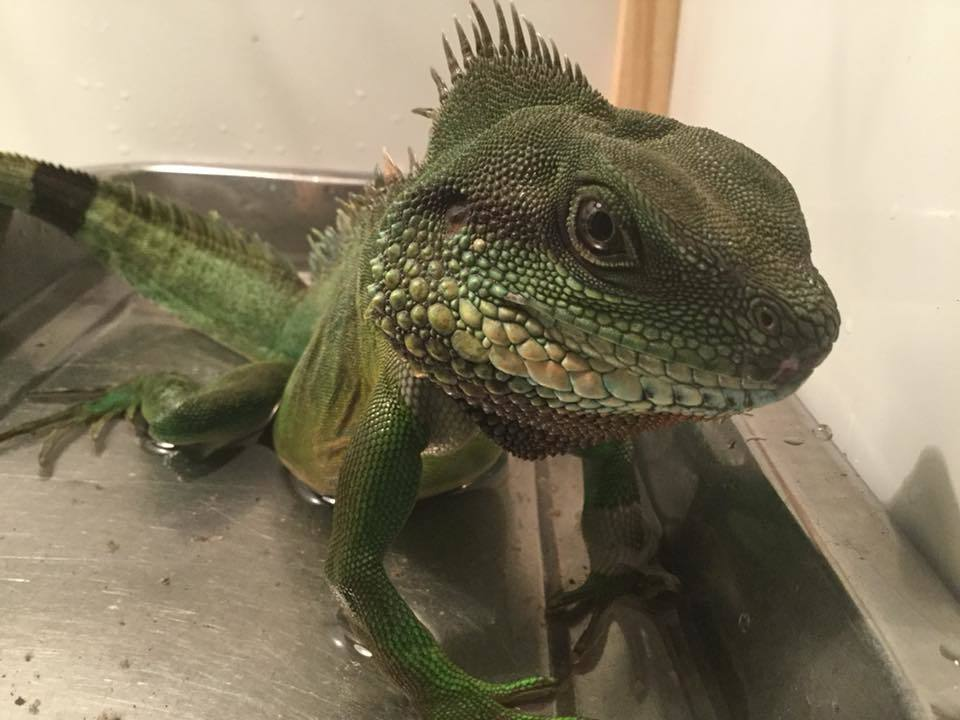 Chinese water dragon respiratory infection