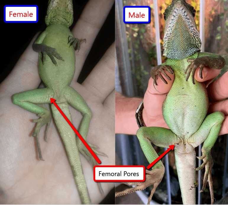 Chinese water dragon male vs female with difference in femoral pores
