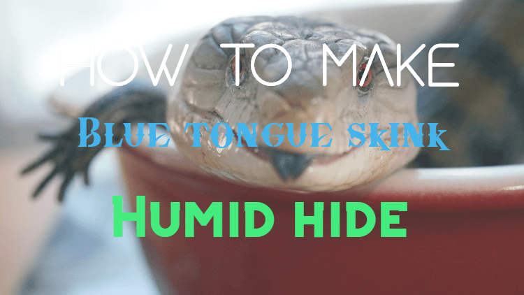 how to make blue tongue skink humid hide