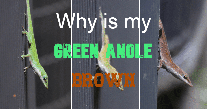 why is my green anole always brown