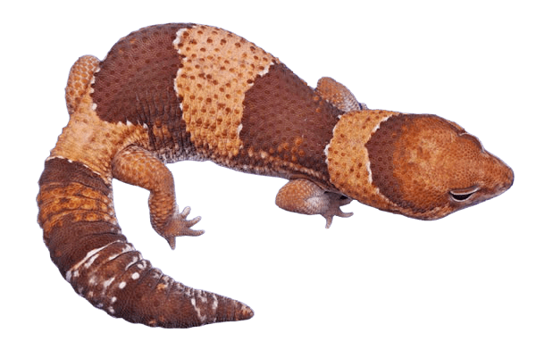 Banded African fat tail gecko