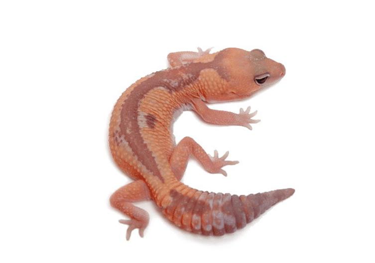 Caramel Zulu African fat tail gecko