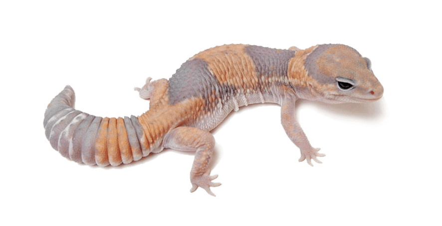 Ghost African fat tail gecko