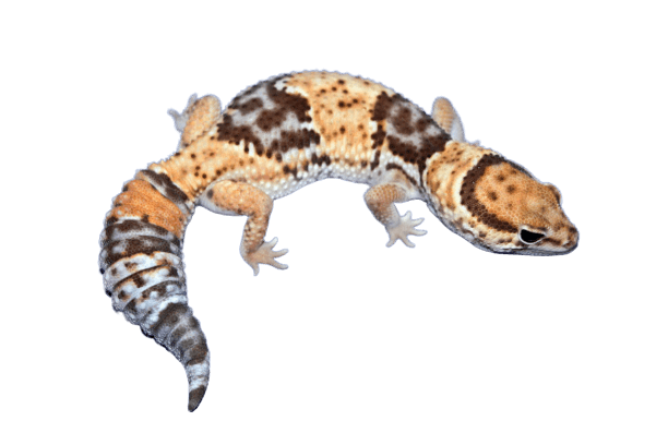 Starburst African fat tail gecko