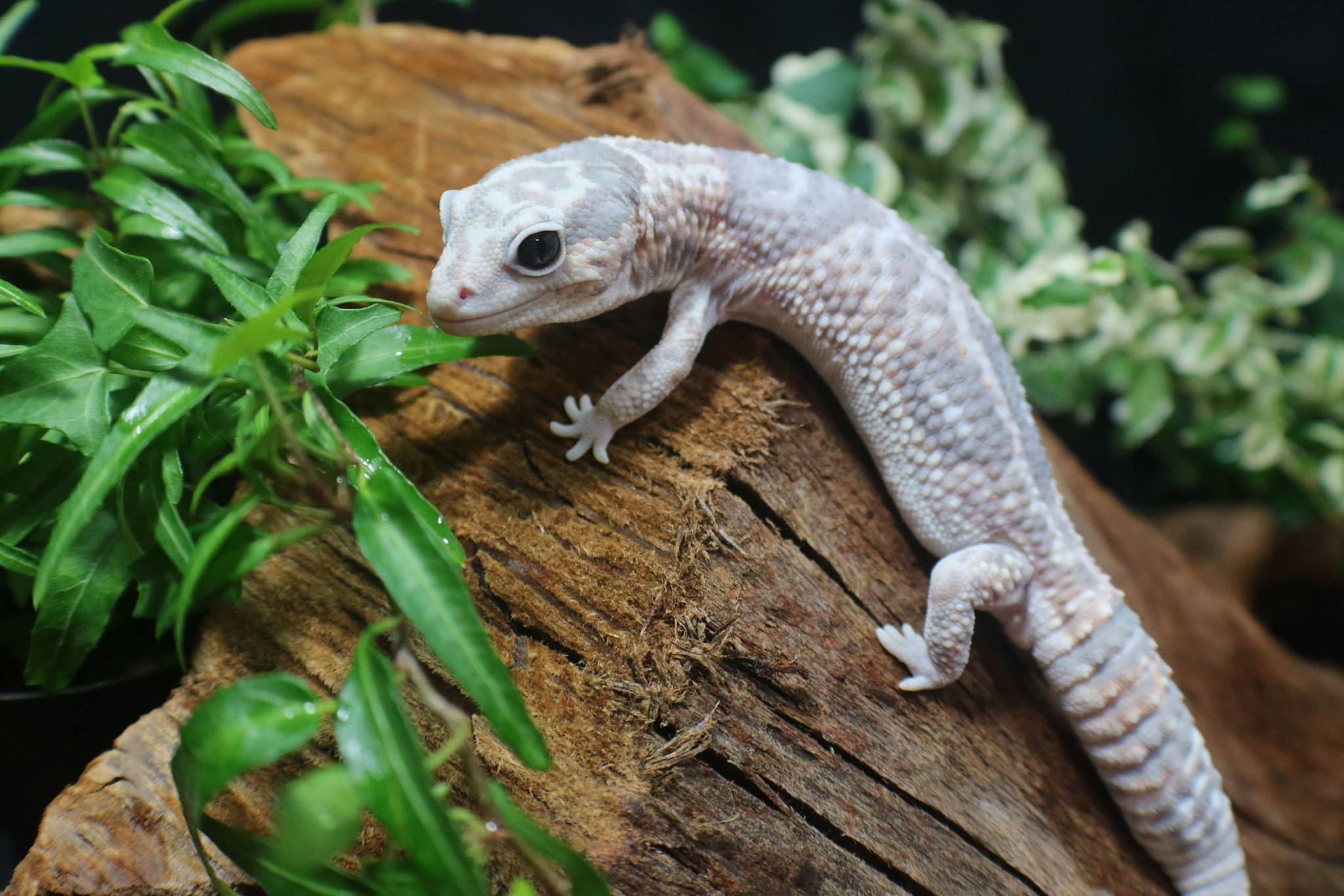 White out ghost African fat tail gecko