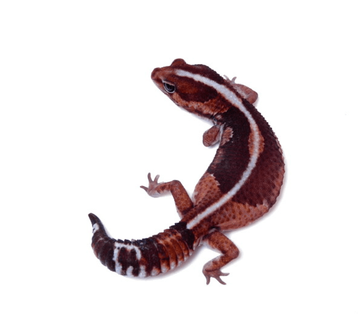Zero African fat tail gecko
