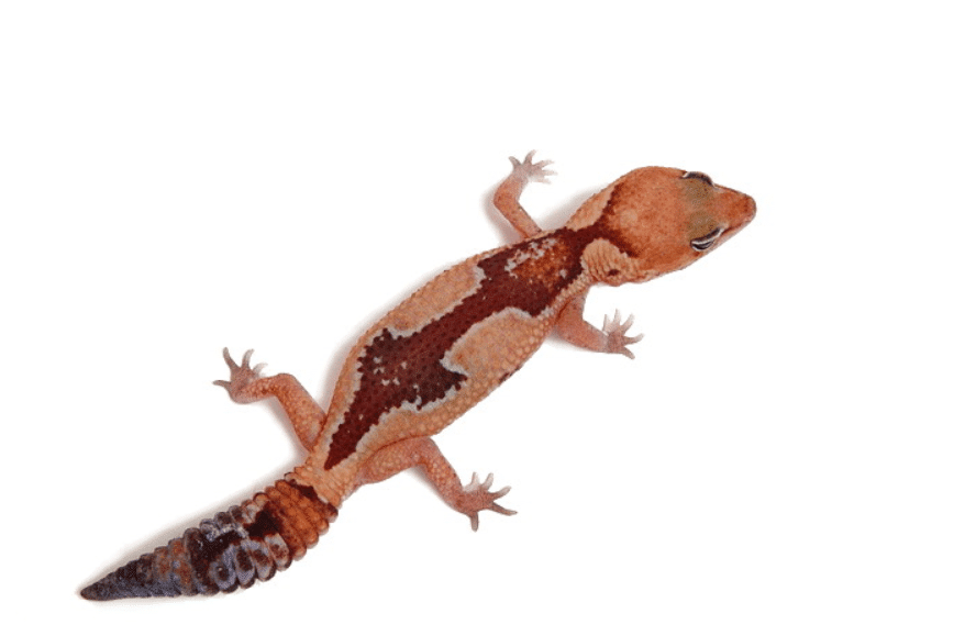 Zulu African fat tail gecko