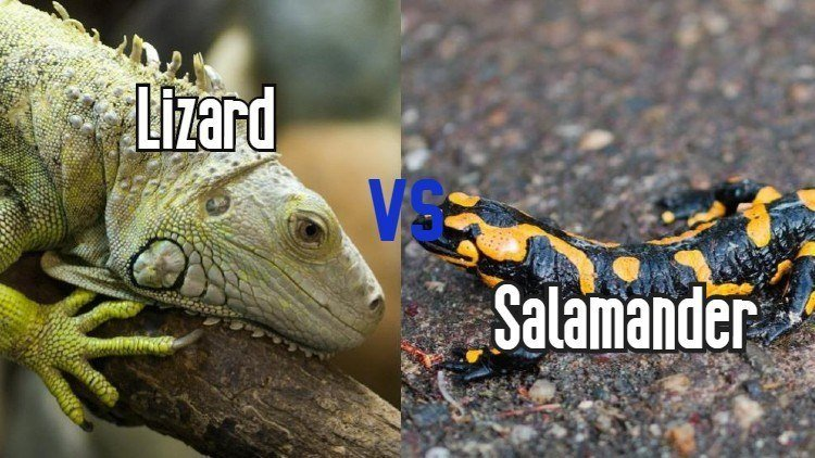Differences between lizards and salamanders