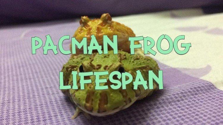 Pacman Frog Fifespan