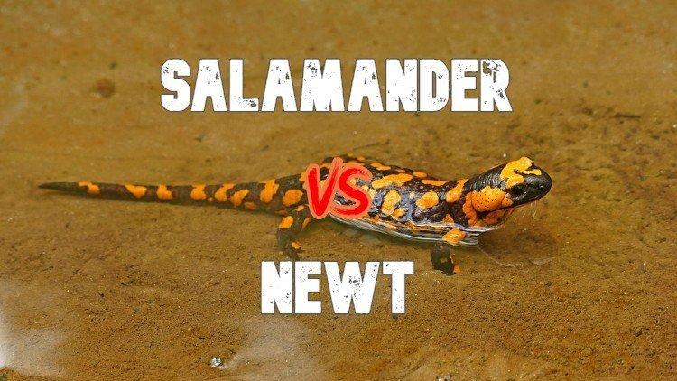 Salamander VS Newt
