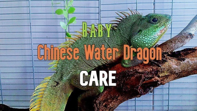Baby Chinese Water Dragon Care