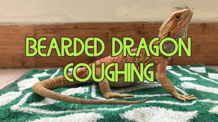Why is a bearded dragon coughing
