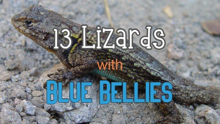 What lizards with blue bellies