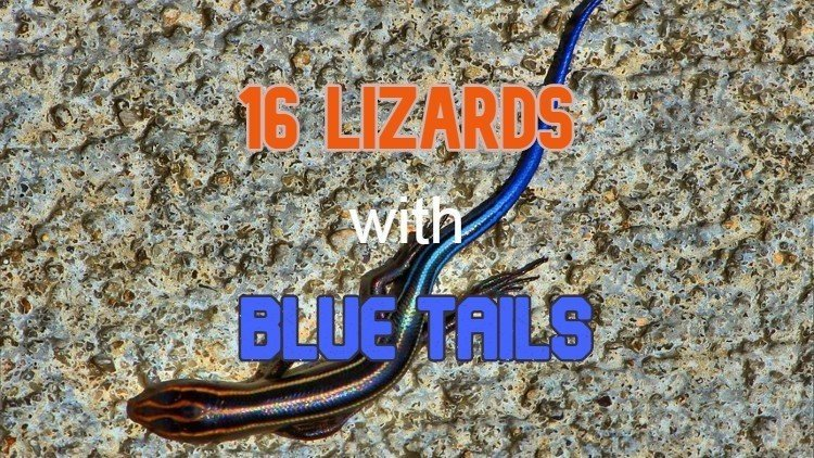 Lizards with Blue Tails
