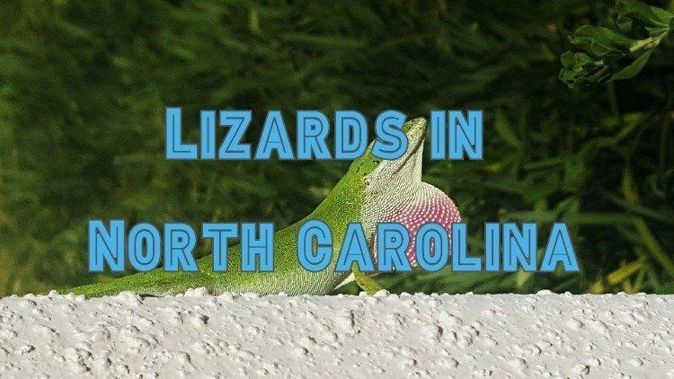 13 lizard species in North Carolina