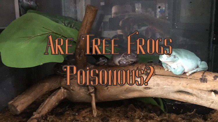 Are tree frogs poisonous?