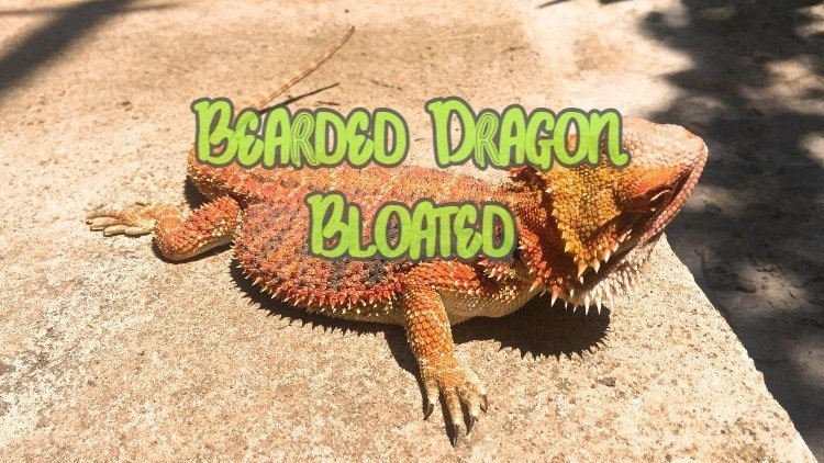 Why is a bearded dragon bloated