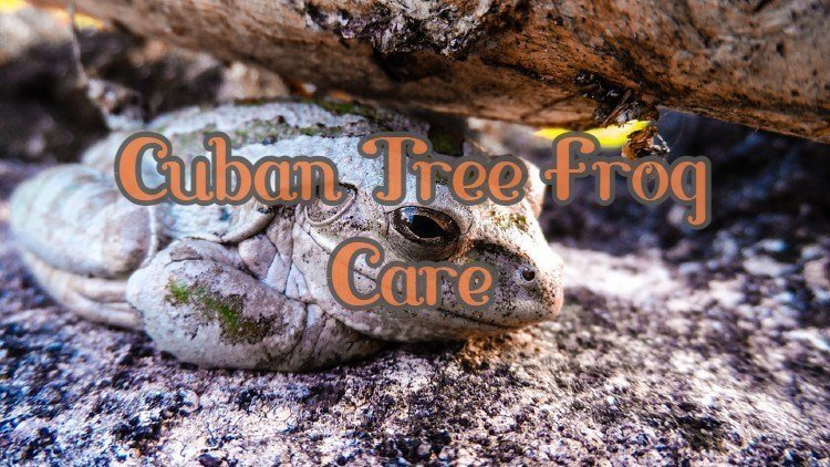 Cuban Tree Frog Care
