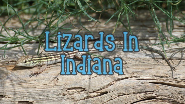 Lizards in Indiana