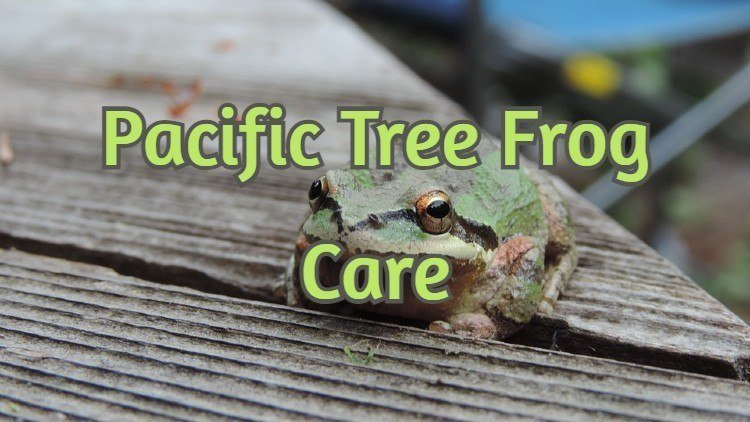 Pacific Tree Frog Care Sheet