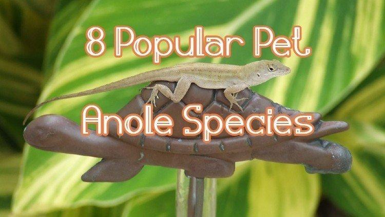 popular anole pet
