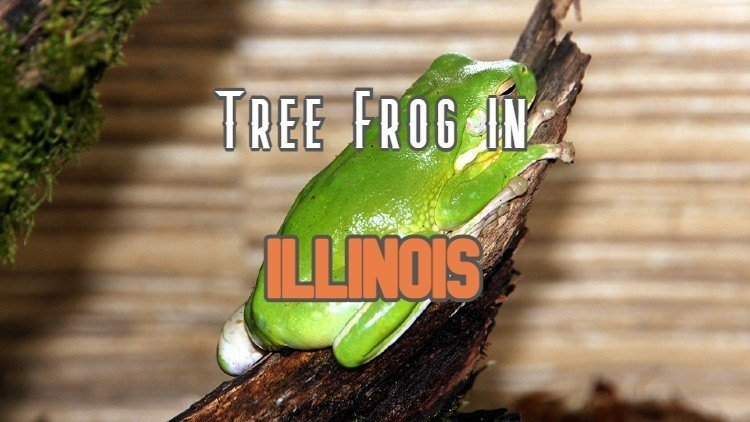 Tree Frog In Illinois