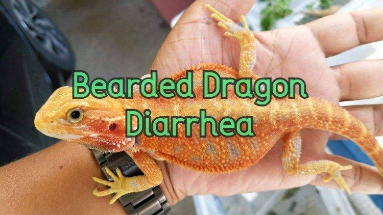 Bearded Dragon Diarrhea