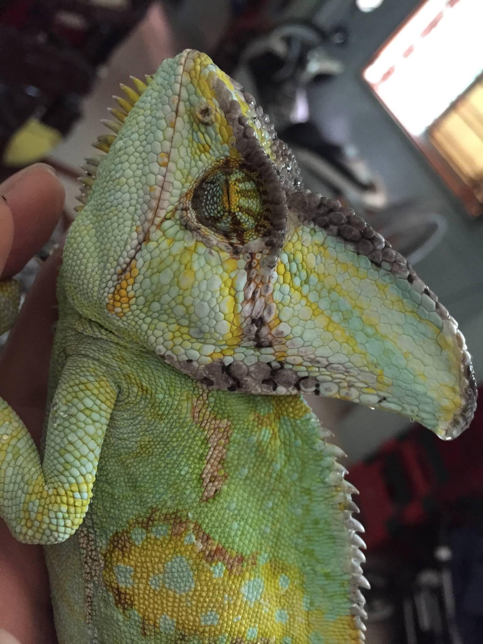 Black spots on a veiled chameleon