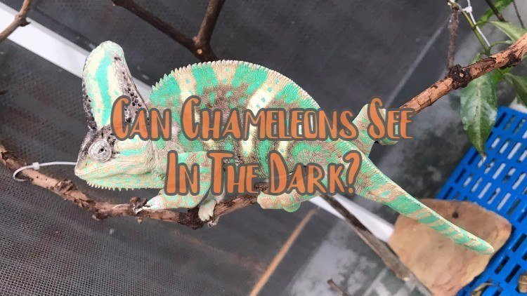 Can Chameleons See In The Dark